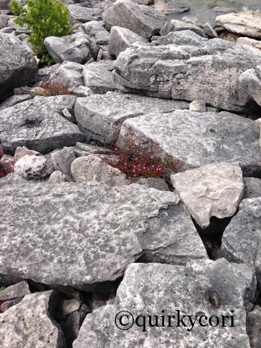 Flowers, rock beach, Bruce Peninsula National Park