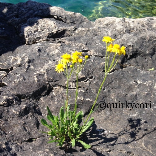 yellow flowers, Bruce Peninsula National Park, Perseverance